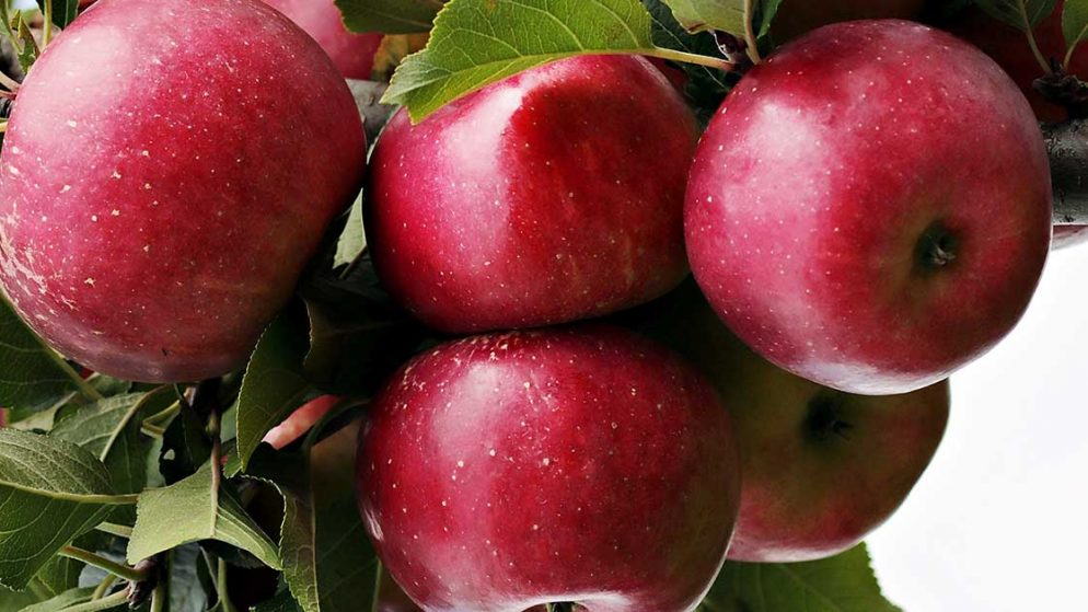 Elmanın Besin Değeri
